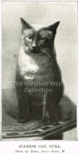 1897 Oct 27 SURA the Siamese owned by McLaren Morrison -web